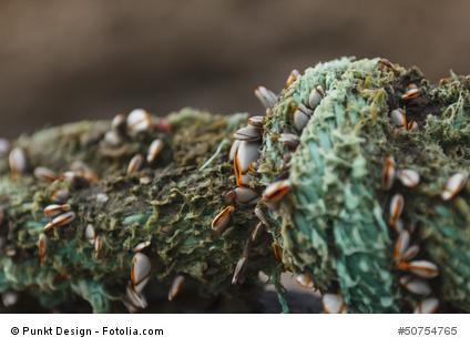 Muscheln als Nahrung für Karpfen